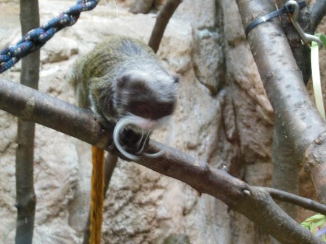 Beard Monkey@ Como Zoo